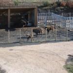 Reserva del bisonte europeo3