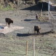 Reserva del bisonte europeo4